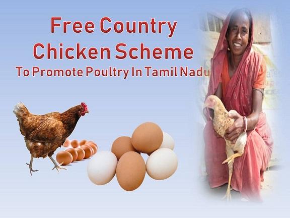 Free Country Chicken Scheme In Tamil Nadu